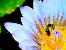 Bi på pollenlotusblomma arkivfoton