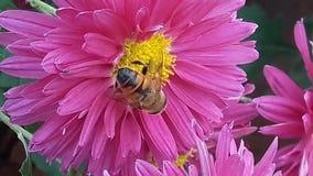 Bi på purpurfärgad blommanärbild Biet pollinerar en rosa blommamakro arkivfilmer