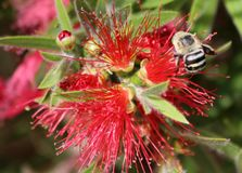 Bi på röd blomma Royaltyfri Fotografi
