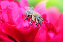 Bi på röd pion för blomma Fotografering för Bildbyråer