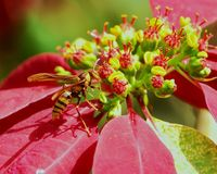 Bi på röda och gula blommor Arkivbilder