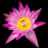 Bi på rosa den isolerade Lotus closeupen Arkivbild