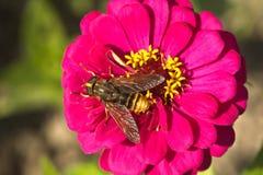 Bi på rosa färgblomman Royaltyfria Bilder
