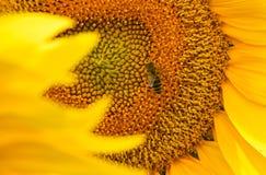 bi på solrosen Arkivbilder