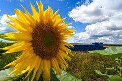 bi på solrosen Royaltyfria Bilder