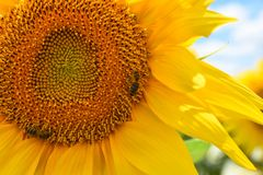 bi på solrosen Arkivfoto