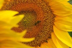 bi på solrosen Fotografering för Bildbyråer