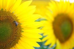 Bi på solrosen Royaltyfri Fotografi