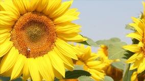 Bi på solrosen stock video