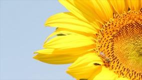 Bi på solrosen arkivfilmer
