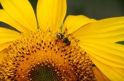 Bi på solrosen Arkivfoton