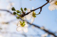 Bi på vårblommorna av mandeln Royaltyfri Fotografi