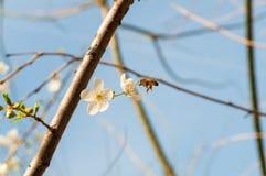 Bi på vårblommorna av mandeln Arkivfoto