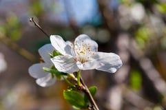 Bi på vårblommorna av mandeln Arkivfoton