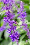 Bi p? en purpurf?rgad blomma royaltyfria bilder