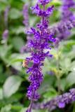 Bi p? en purpurf?rgad blomma royaltyfri foto