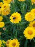 Bi p? gula blommor royaltyfria bilder