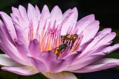Bi på härlig lotusblomma Arkivfoto