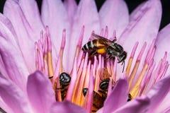 Bi på härlig lotusblomma Royaltyfria Bilder