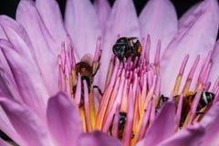 Bi på härlig lotusblomma Royaltyfri Foto