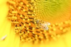 Bi som är lyckligt i solros Royaltyfri Foto