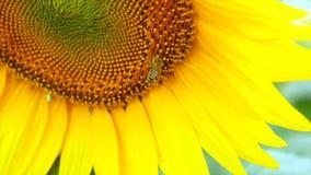 Bi som arbetar på blå himmel för solros och soligt väder lager videofilmer