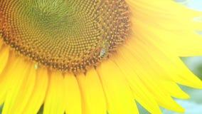 Bi som arbetar på blå himmel för solros och soligt väder 4K stock video