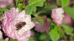 Bi som arbetar på blomningträd i en trädgård close upp långsam rörelse arkivfilmer