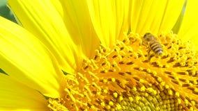 Bi som arbetar på solrosen i sommardag lager videofilmer