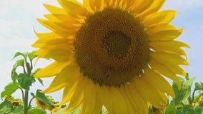 Bi som arbetar på solrosen i ultrarapid, blå himmel och soligt väder stock video