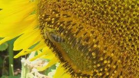 Bi som arbetar på solrosen i ultrarapid, blå himmel och soligt väder arkivfilmer