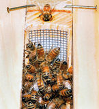 bi som får den nya drottningen Royaltyfri Fotografi
