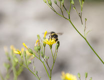 Bi som flyger av en gul blomma Arkivbild