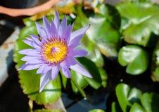 Bi som flyger av lotusblomma Royaltyfri Bild
