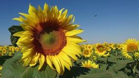 Bi som flyger nära den härliga solrosen på stort fält av solrosor arkivfilmer