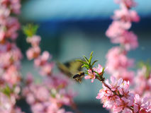 Bi som flyger till blommande mandelträds floweres Arkivfoto