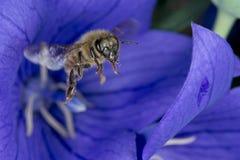 Bi som flyger till dig från blomman Royaltyfri Bild