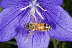 Bi som flyger till dig från blomman Arkivbild