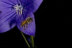 Bi som flyger till dig från blomman Royaltyfri Foto