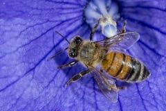 Bi som flyger till dig från blomman Royaltyfria Foton