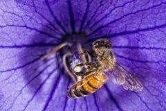 Bi som flyger till dig från blomman Arkivfoto