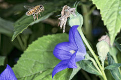 Bi som flyger till dig från blomman Royaltyfria Bilder
