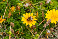 Bi som fylls med pollen på gul tusensköna Royaltyfria Bilder