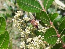 Bi som gör pollination! Arkivbilder