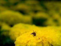 Bi som grävas in i blomman för att mata på nektar royaltyfri foto