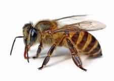 Bi som isoleras på vitbakgrund royaltyfri bild
