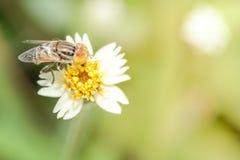 Bi som luktar gräsmorgon Royaltyfri Bild