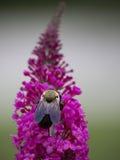 Bi som matar på blom Fotografering för Bildbyråer