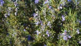 Bi som nära flyger till en rosmarinbuske lager videofilmer