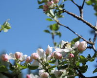 Bi som pollinerar äppleblomningar arkivfoto